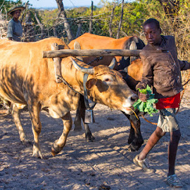 Not for you! by Richard Duerksen - People Street & Candids ( young boy, zimbabwe, ox cart, kale greens, cows )