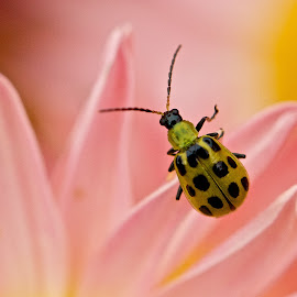 Green beetle by Dan Ferrin - Animals Insects & Spiders ( green beetle, nature, insects, insect, flower, beetle )