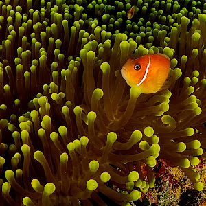 Anemone and Clownfish.jpg