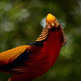 golden pheasant  by Narendra Prashanth Ramsundar - Animals Birds ( bird, nikon d5100, pheasant, colorful, golden )