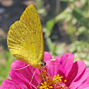 Large Orange Sulphur - female yellow-orange form