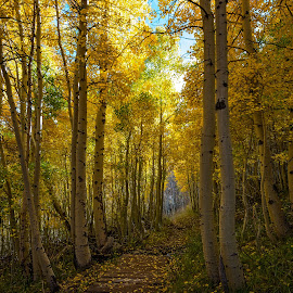 Along the trail by Mark Cote - Landscapes Forests ( june lake loop, fall colors, silver lake, sierra nevada mountains, parker bench trail,  )