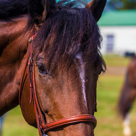 Ready to Ride by Greg Reeves - Animals Horses ( horses, farms, horse, hunter jumpers,  )