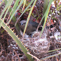 Brewer's Blackbird on Nest