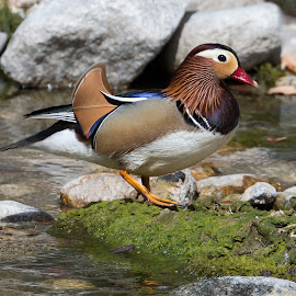 PATO-MANDARIM ~~ MANDARIN DUCK (Aix galericulata)[Male] by Paulo Coteriano - Uncategorized All Uncategorized ( , fall, color, colorful, nature )