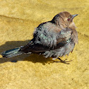 Brewer's Blackbird (Female/Juvenile)