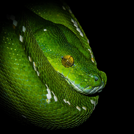 green tree python 23 by Gregg Pratt - Animals Reptiles ( snake )