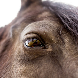 Eye See You by Curtis Lund - Animals Horses ( reflection, horse, brown, close up, hair, eye )