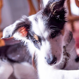 Skye The Border Collie by Nina Fuller - Animals - Dogs Puppies