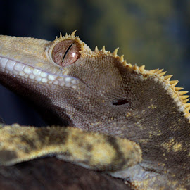 Male Crested Gecko - Oren by Gareth Dickin - Animals Reptiles ( lizard, gecko, cresty, crested gecko, reptile, close up, eye )