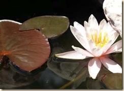 pond-lily-sm