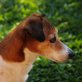 by Judy Patching - Novices Only Pets ( dog old greying jack russel )