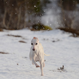 Whippet running by Marius Birkeland - Animals - Dogs Running ( dogs, snow, dog, running, whippet )