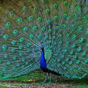 Wide Open by Gary Enloe - Animals Birds ( peacocks, wingspan, feathers )