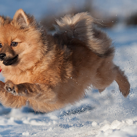 Lets Go Yahoo first snow run by Michael  M Sweeney - Animals - Dogs Puppies ( scotland, joy, star, play, michael sweeney, fun, run, photography, mix, hugo, jump, epic, winter, animal kingdom, happy, snow, movement, pomerainan, first run, nikon, motion, light, pomeranian )