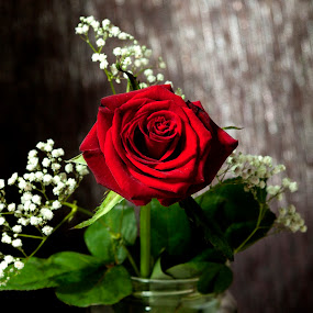 Red Rose by Giannis Paraschou - Flowers Single Flower ( red flower, roses, red rose,  )