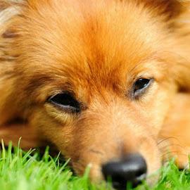 Stanley the Pomeranian by Stephen Jebb - Animals - Dogs Puppies ( dog portrait, puppy, dog, portrait, pomeranian,  )
