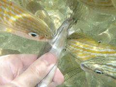 Estes peixinhos pareciam PIRANHAS a roubar-me o peixe da mão. Os guias davam-nos peixinhos mortos para alimentarmos as raias e estes abutres desfaziam aquela cena em segundos mal metiamos a mao debaixo de água! Incrível!