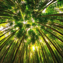 Looking up the Bamboo forest by Aaron Choi - Landscapes Forests ( bamboo, mountain, forest, sunlight, woods, korean, nature, views, sunset, shoots, south, earth, landscapes, korea, light, damyang )