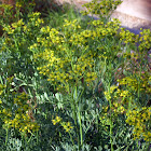 Common Rue