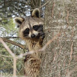 Tree climber by Thomas Latham - Animals Other ( wild, tree, wildlife, mask, raccoon )