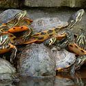 Florida turtles