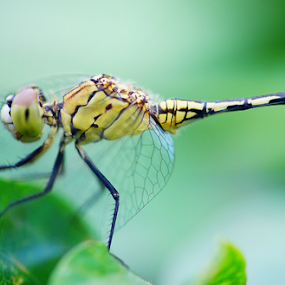 dragonfly #2 by Fathya Zainuri - Animals Insects & Spiders ( animals, insetc, dragonfly, insects, animal )
