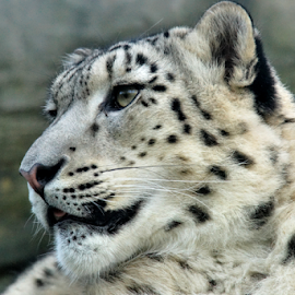 Snow Leopard by Dark Reid - Animals Lions, Tigers & Big Cats ( zoo, gaze, whiskers, marwell, ears )