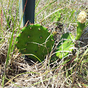 Eastern Prickly Pear (Cactus)
