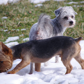 Summer Haircuts,Biggest Snow of the Year !! by Jim Atkins - Animals - Dogs Playing