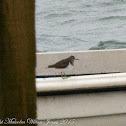 Common Sandpiper;