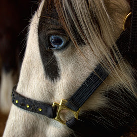 Saphyra by Roxana McRoberts - Animals Horses