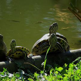 Ribicama i kornjačicama , u botaničkom vrtu, by Katica Pecigoš-Kljuković - Animals Other ( botanički, straža )