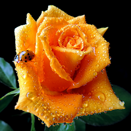 Favourite guest by Biljana Nikolic - Flowers Single Flower ( orange flower, orange color, wet orange rose, orange rose closeup, rose with ladybug, canvas, orange rose, ladybug )