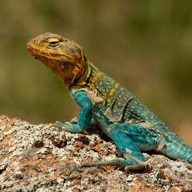 Shedding Collard Lizard by Eva Ryan - Animals Reptiles ( lizard, oklahoma, outdoors, shedding, skin,  )