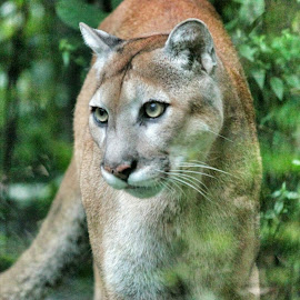 My Awesome Florida Panther by Florent Alezi - Animals Lions, Tigers & Big Cats (  )