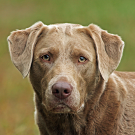 Danni by Dave Hollub - Animals - Dogs Portraits ( labrador retriever, silver labrador,  )