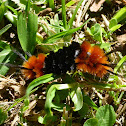 Hairy orange black caterpillar