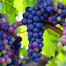 Druiven 03b.jpg