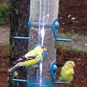 Male and female Goldfinch