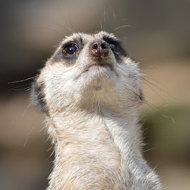 Meerkat, All Nose and Whiskers. by Dorothy Thomson - Animals Other Mammals ( scotland, nature, meerkat, nikon d3200, edinburgh zoo )