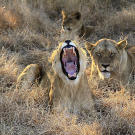 Power show  by Sonika Sharma - Animals Lions, Tigers & Big Cats ( animals, lioness, jungle, wildlife, sleeping, yawn )