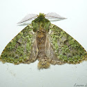 Moss Mimic Moth