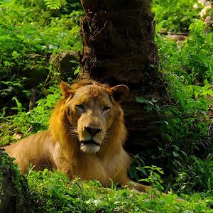 THE LION..jpg