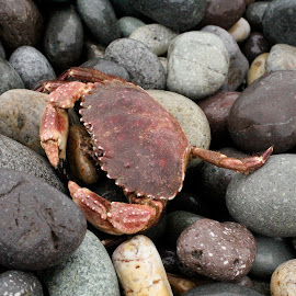 Crab on Rocks by Megan Beruldsen - Animals Sea Creatures ( sea creatures, peru, rocks, lima, crab )