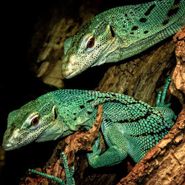 Green Tree Monitors by Gregg Pratt - Animals Reptiles ( lizard, monitor )