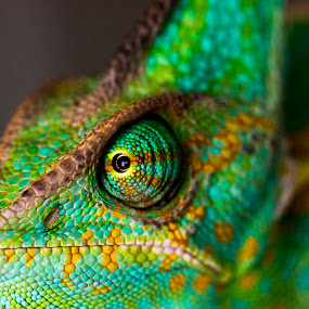 color your life by Ante Kante - Animals Reptiles ( color, blue, green, yellow, chameleon, light, eye, #GARYFONGPETS, #SHOWUSYOURPETS,  )
