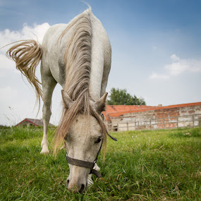 Time to rest by Arti Fakts - Animals Horses ( grass, green, horse, white, artifakts, farm, field, apetite, sky, blue, meadow, fur, eating, eat,  )