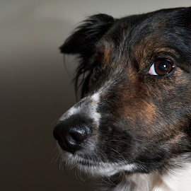 I'm Watching by Darrell Evans - Animals - Dogs Portraits ( canine, look, tri-color, dog, head, boder collie, eyes )