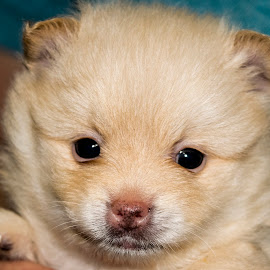 The look by Sergio Yorick - Animals - Dogs Puppies ( puppy, dog, puppy portrait, pomeranian, portrait, animal,  )
